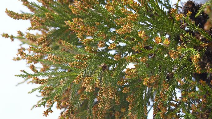 今にも花粉が飛びそうな木