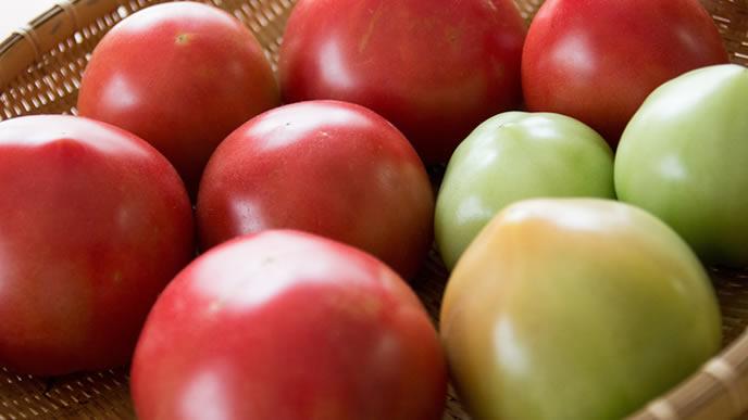 まだ青いトマトと熟しているトマト