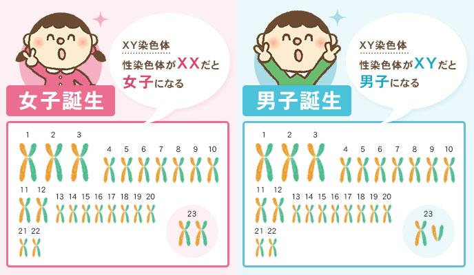 男の子と女の子の通常の染色体