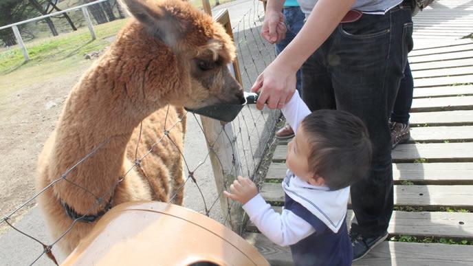 パパと一緒にアルパカにおやつを挙げる赤ちゃん