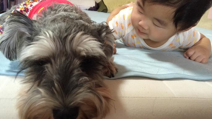 赤ちゃんが生まれてからずっと一緒にいる犬