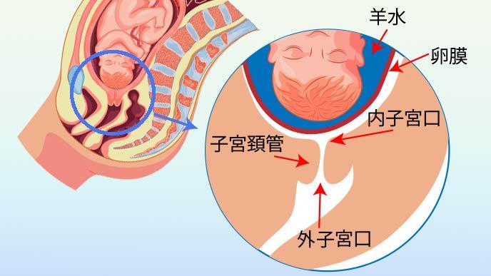 胎児と子宮口