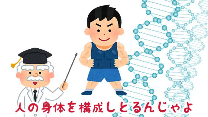 タンパク質の構造と筋肉質な子供と博士のイラスト