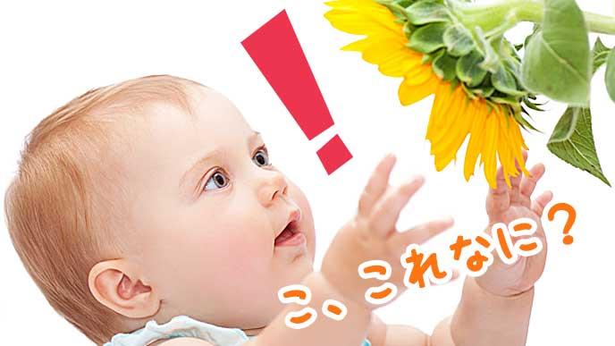 ヒマワリに驚いている赤ちゃん