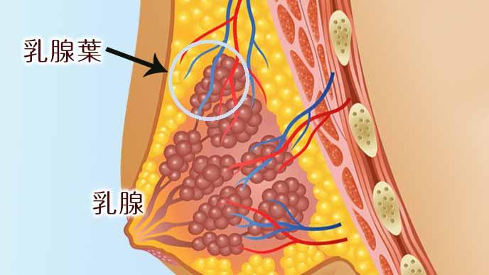 乳腺と乳腺葉