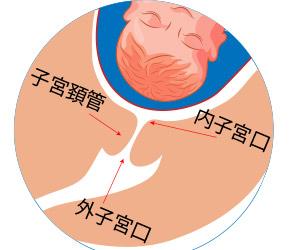 子宮口解剖図
