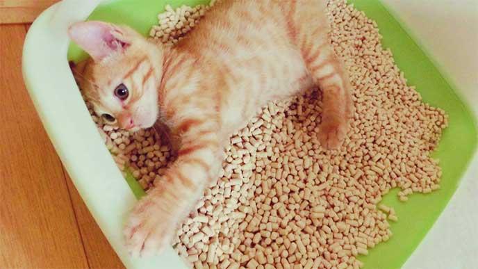 猫用トイレの中で遊んでる子猫