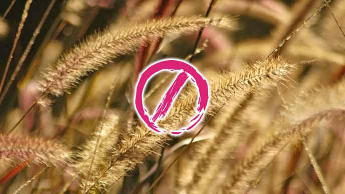 小麦畑の穂
