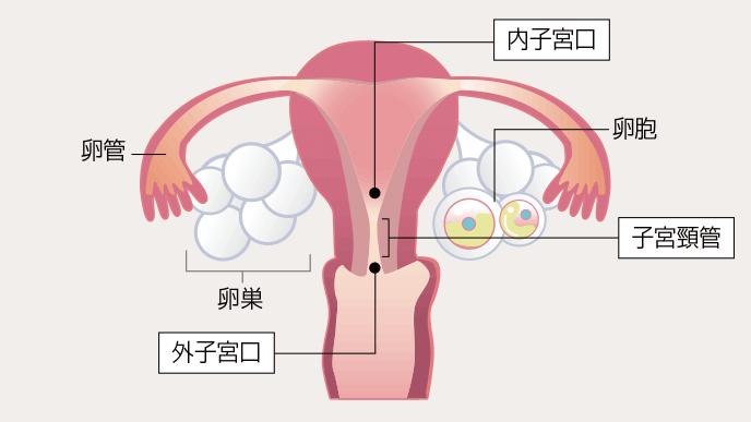 図解:子宮口