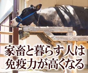 繋がれた家畜の牛